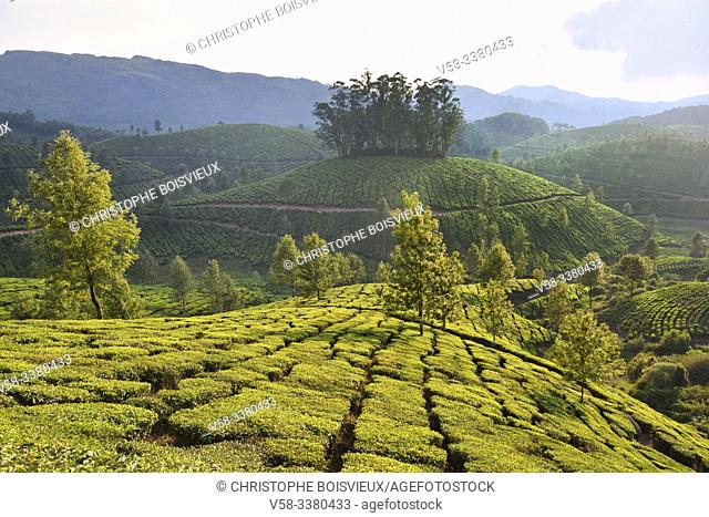 India, Kerala, Munnar, Tea plantations