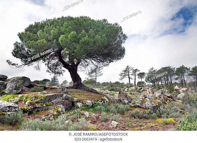 Pines in the Cigarral. Cadalso de los Vidrios. Madrid. Spain. Europe