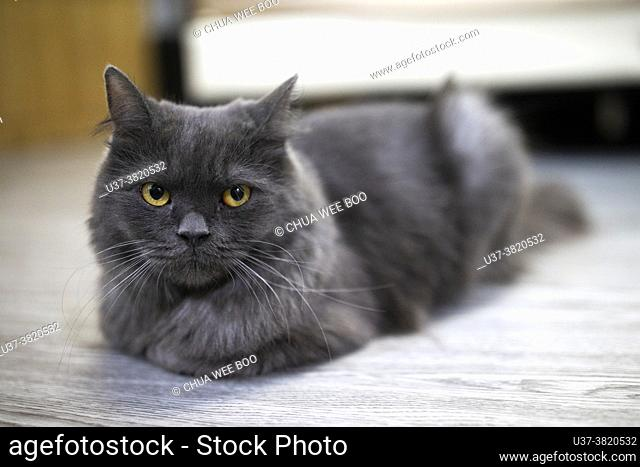 Portrait of a grey cat with yellow eyes