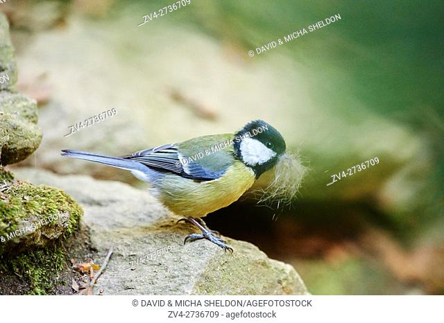 Close-up of a great tit (Parus major) in spring in the Bavarian forest, Germany