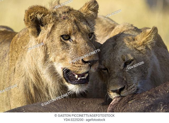 African Lion (Panthera leo) - Female and young eating a Cape Buffalo carcass (Syncerus caffer caffer) which was killed two nights before by the females of the...