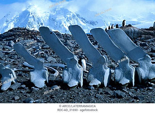 Whale bones part of the skeleton Port Lockroy Antarctica