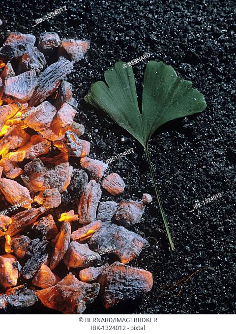 Durable Ginkgo (Ginkgo biloba) leaf on burning charcoal