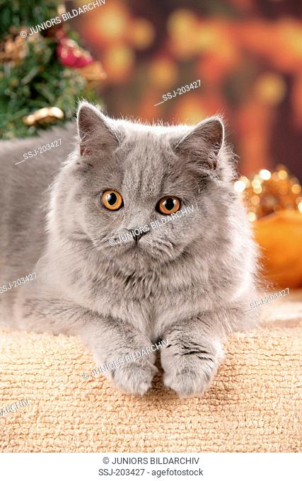 British Shorthair cat. Adult lying in Christmas decoration. Germany