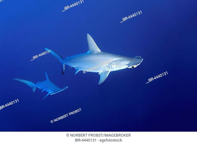 Two scalloped hammerhead sharks (Sphyrna lewini) swimming in open sea, Red Sea, Egypt