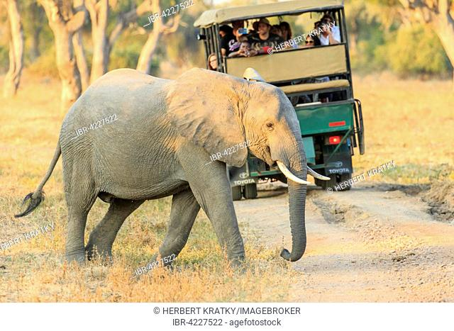 African Elephant (Loxodonta africana) in front of a safari car, South Luangwa National Park, Zambia