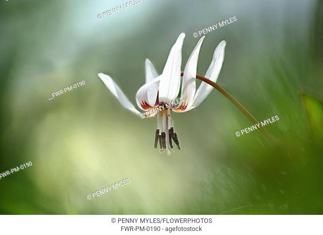 Dog's tooth violet, Erythronium dens-canis 'Snow Flake', Delicate white coloured flower growing outdoor.-