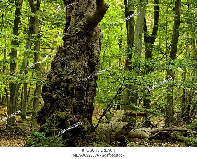 Germany, Mecklenburg-Western Pomerania, Western Pomerania Lagoon Area National Park, Darss Forest, centuries-old knobby and crooked European beech with...