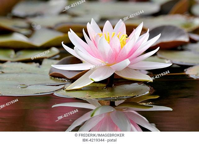 Pink-white water lily (Nymphaea), with reflection in the lake, Germany