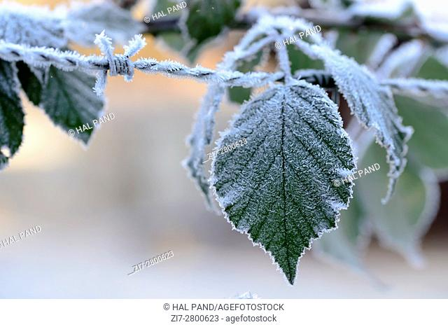 detail of ice crystals on barbwire and green leaves , shot in Stuttgart, Germany