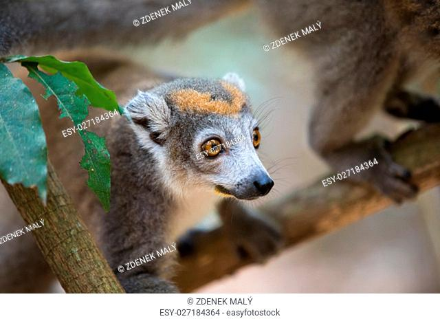 Portrait of crowned lemur (Eulemur coronatus) Ankarana National Park. The crowned lemur is endemic to the dry deciduous forests of the northern top of...