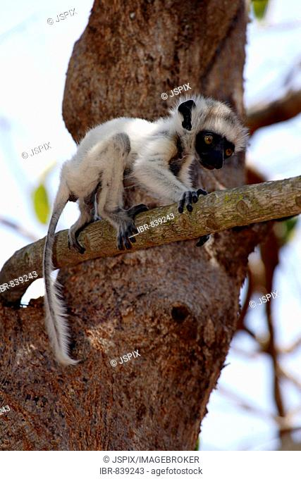 Verreaux's Sifaka (Propithecus verreauxi), adult, female, with a young animal, in a tree, Berenty Game Reserve, Madagascar