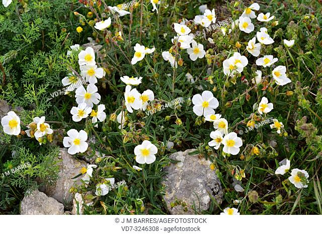 White rock-rose (Helianthemum apenninum) is a subshrub native to Spain, France, Italy, Greece and northwestern Africa. This photo was taken in La Bureba