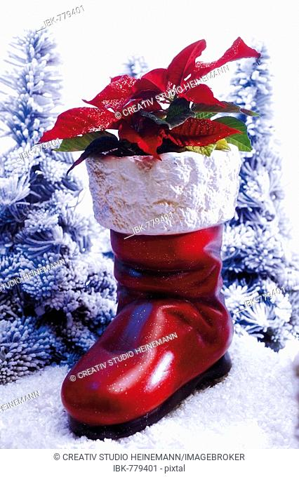 Christmas boot decorated with poinsettia or Christmas Star (Euphorbia pulcherrima) set it an artificial winter landscape