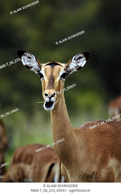 Close-up of a Steenbok Raphicerus Campestris in a field, Kruger Park, South Africa