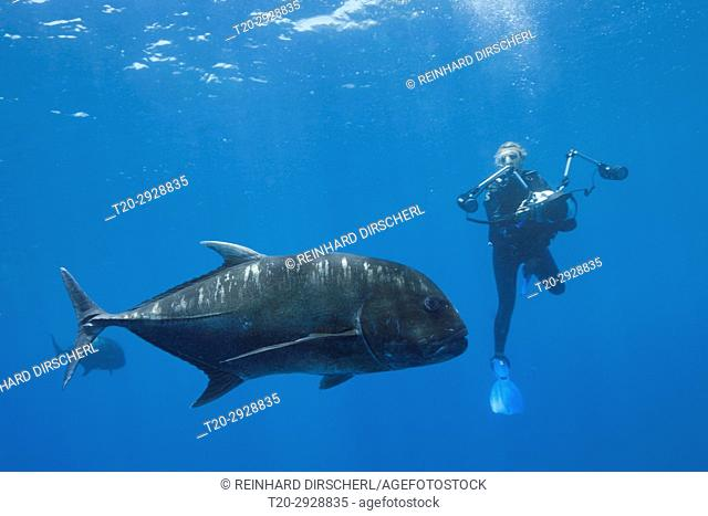 Giant Trevally and Scuba diver, Caranx ignobilis, Christmas Island, Australia
