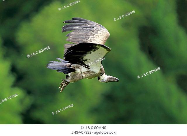 Griffon Vulture, (Gyps fulvus), adult, flying, Europe