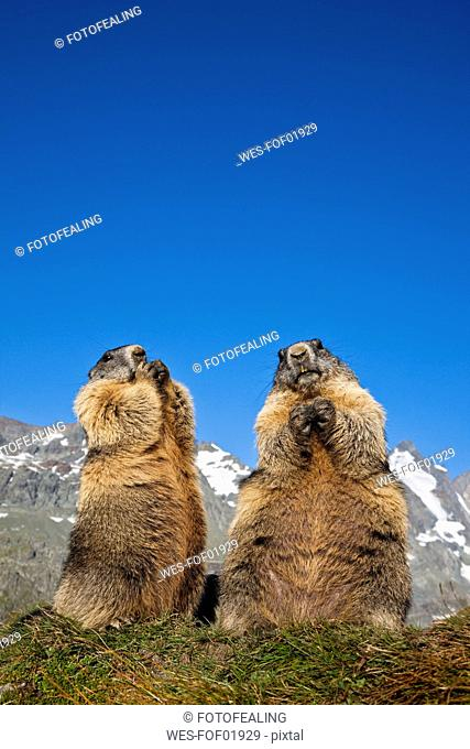 Austria, Grossglockner, Marmots Marmota marmota