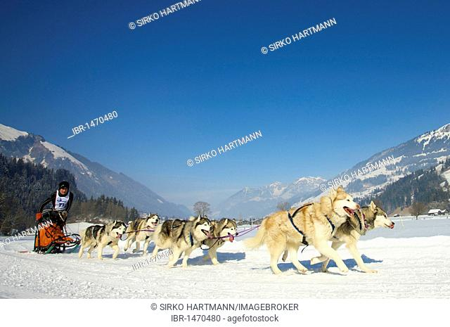 Musher with his Malamute Huskies at the sled dog race in Lenk, Switzerland, Europe
