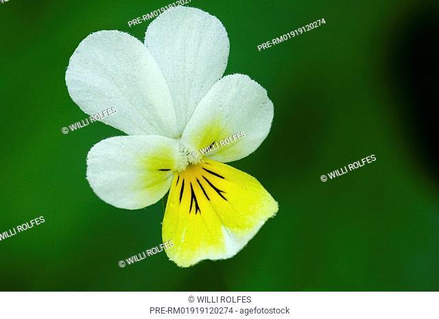 Field pansy, Viola arvensis