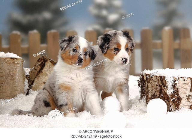 Australian Shepherd blue-merle puppies 6 weeks snowballs
