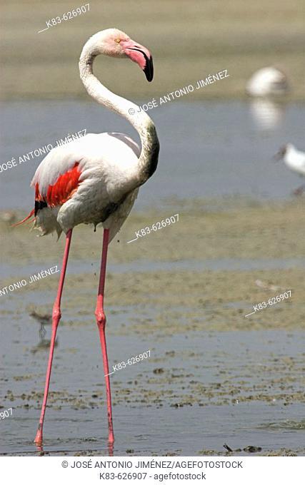 Greater Flamingos (Phoenicopterus ruber). Fuente de Piedra lagoon. Málaga province, Spain