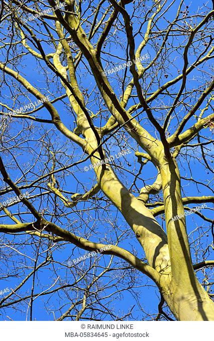 View into a Plane Tree Treetops, Freudenberg, Churfranken, Main-Tauber-District, Baden-Wurttemberg, Germany