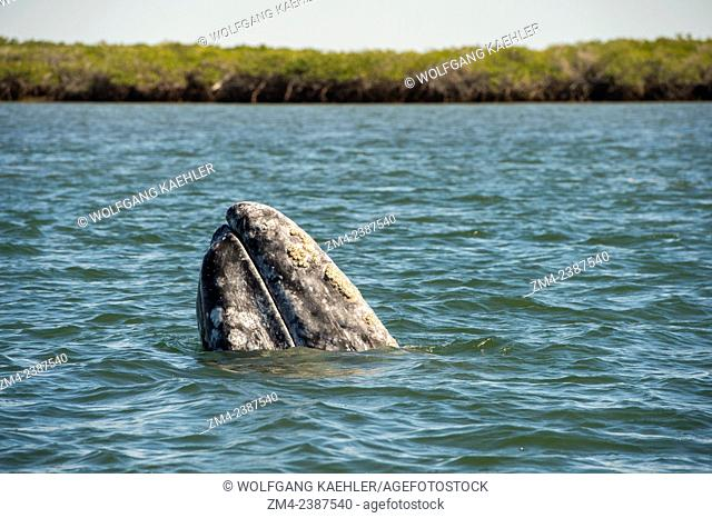 A Gray whale (Eschrichtius robustus) spy-hopping in Magdalena Bay, one of the breeding grounds where they give birth, near San Carlos in Baja California, Mexico