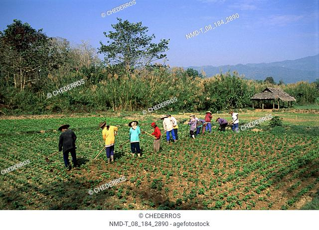 Rear view of a group of people harvesting in a field, Thailand