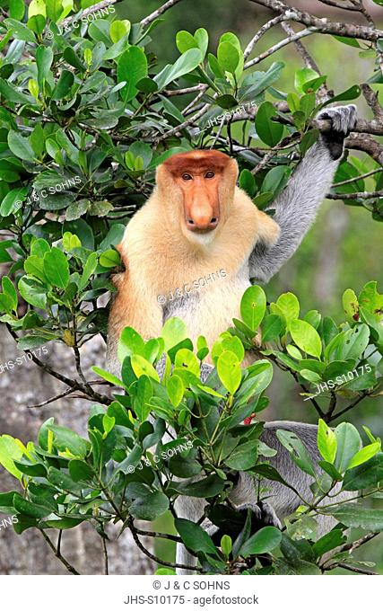 Proboscis Monkey,Nasalis larvatus,Labuk Bay,Sabah,Borneo,Malaysia,Asia,adult male on tree