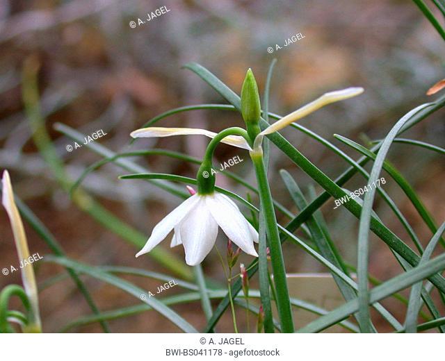 Nice snowflake (Leucojum nicaeense), flower