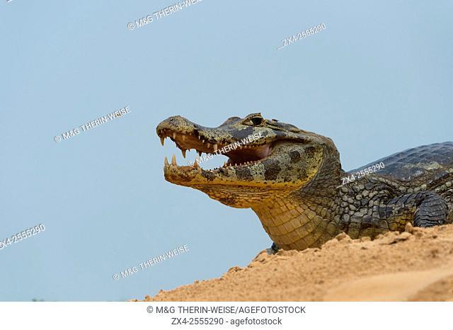 Yacare caiman (Caiman yacare) on a sandbank, Cuiaba river, Pantanal, Brazil