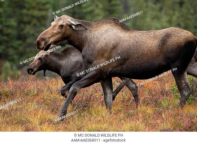 Moose (Alces alces) in Denali National Park, Alaska, USA