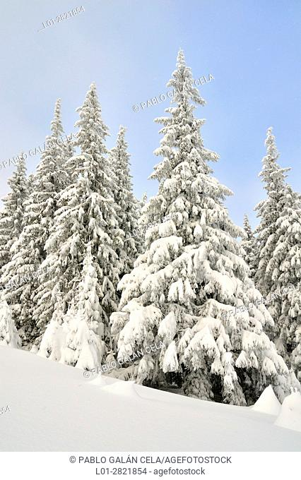 Winter view of spruce forest in the Carpathians mountains of Romania