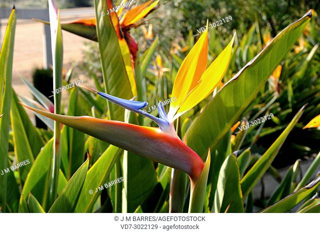 Bird of paradise (Strelitzia reginae) is a ornamental herb native to South Africa. Flowers detail