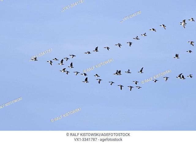 Barnacle Goose / Barnacle Geese ( Branta leucopsis ), flock in flight, in typical formation, migratory birds, bird passage, wildlife, Europe.