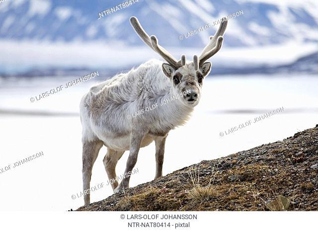 Svalbard reindeer, Spitsbergen, Svalbard, Norway