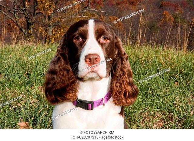 dog english springer spaniel animals pets pet dog