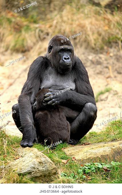 Lowland Gorilla, Gorilla gorilla, Africa, adult female with young