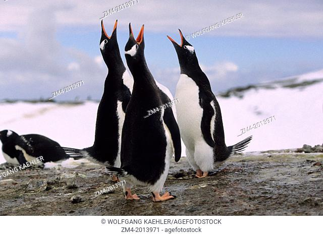 ANTARCTICA, SOUTH SHETLAND ISLANDS, KING GEORGE ISLAND, LION'S RUMP, GENTOO PENGUINS, LOUD MUTUAL DISPLAY