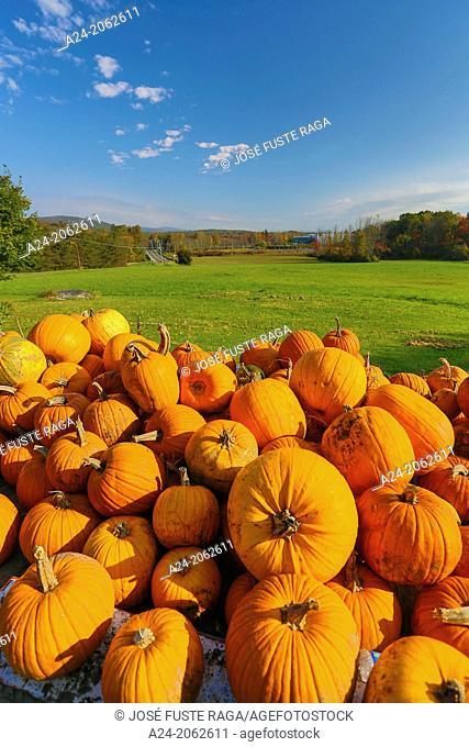 USA ,Massachusetts, Berckshire District, Near Lenox City , Pumpkins