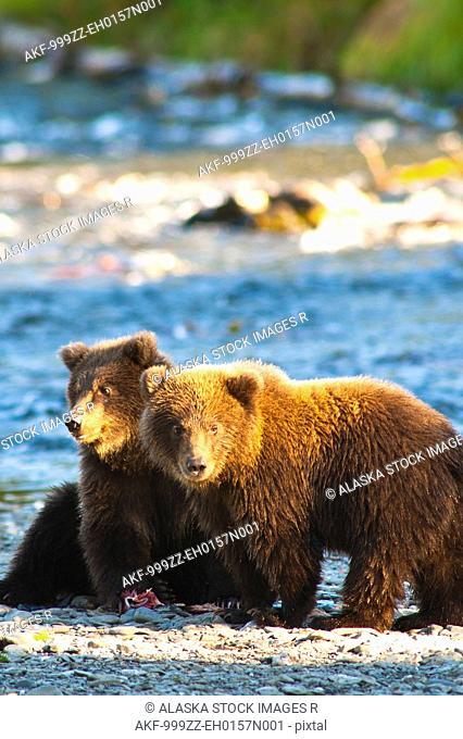 Two Spring cubs feeding on salmon near the Russian River and Kenai River Confluence on the Kenai Peninsula, Southcentral Alaska, Summer