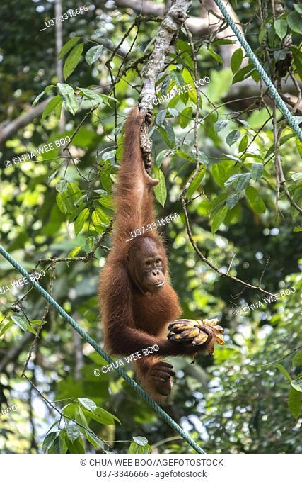 Bornean orangutan (Pongo pygmaeus), Semenggoh Rehabilitation Center, Sarawak, Borneo, Malaysia, Southeast Asia, Asia