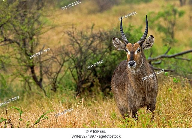 waterbuck Kobus ellipsiprymnus, young male, South Africa, Limpopo, Krueger National Park