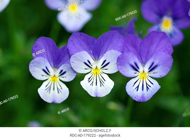 Pansy, Auvergne, France, Viola triclor