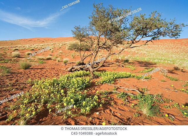 Namibia - Devil's Thorn Tribulus zeyheri and Camelthorn Tree Acacia erioloba at a sand dune during the rainy season March  Namib Desert