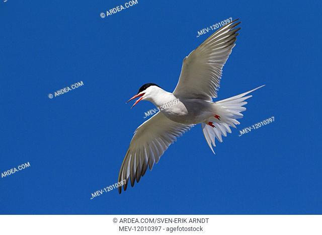 Arctic Tern - adult bird in flight - Germany