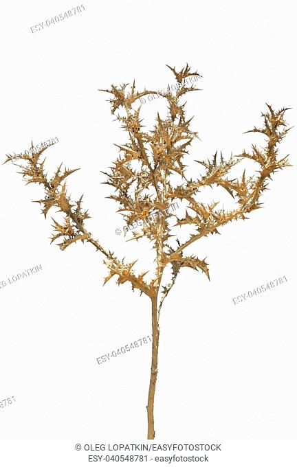 beautiful prickly dry plant on a white background