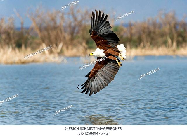 African fish eagle (Haliaeetus vocifer) in flight, Lake Baringo, Kenya