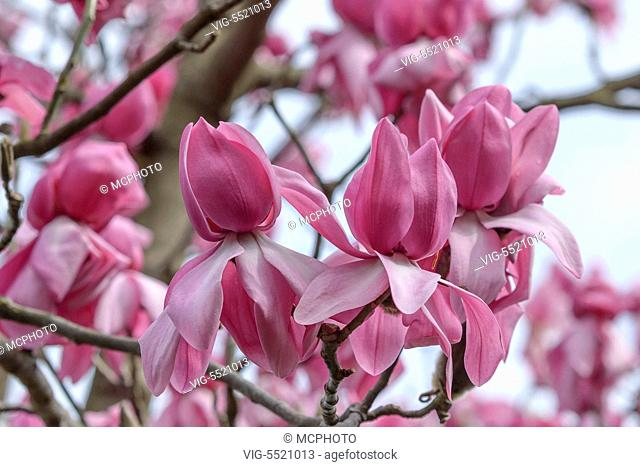 SCHWEIZ, SAN NAZARRO, 27.03.2014, Magnolie (Magnolia campbellii 'Darjeeling') - 27/03/2014